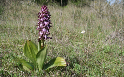 Mosques grosses (Himantoglossum robertianum), la primera de les orquídies a florir