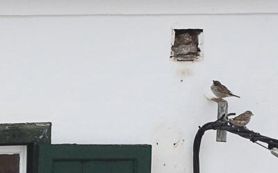 Els forats de bastida són un refugi essencial pels ocells urbans