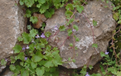La picardia (Cymbalaria muralis) viu exclusivament en ambients urbans