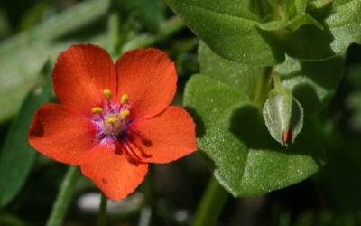 Picapoll o tinya, una planta comuna a Menorca