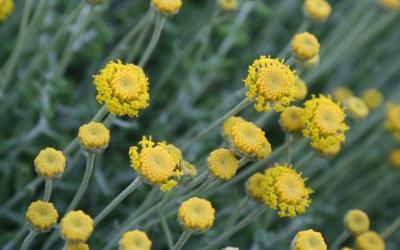 La camamil·la és una de les plantes típiques de la costa de tramuntana