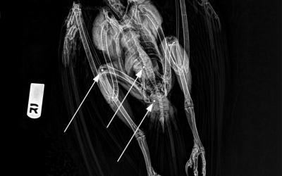 Radiografia del soter on es veuen alguns dels perdigons que el van abatre