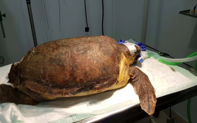 La tortuga atesa a Palma Aquarium (COFIB)
