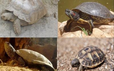 Les quatre espècies de tortuga que podem conèixer a l'Hospital d'Animals.
