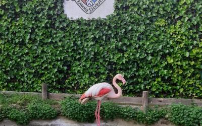 La femella de flamenc recuperant-se a l'hospital d'animals