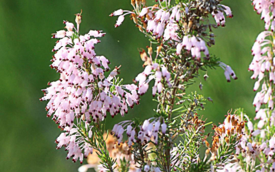 Xipell (Erica multiflora), un bruc que floreix a la tardor