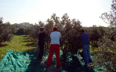 Jornada de voluntariat per collir olives